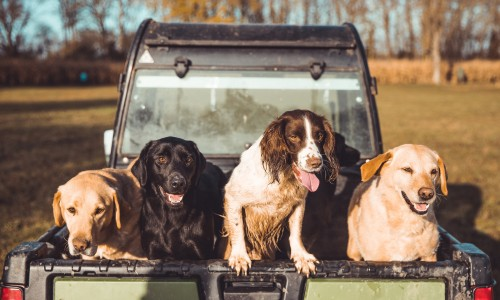 Adventures Game sports Dirty gun dogs in the back of a pick up truck